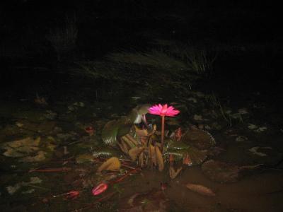 ガラマ川で夜に咲く睡蓮の花