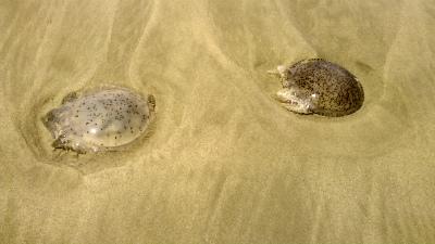 コタキナバルのビーチで見つけたクラゲ