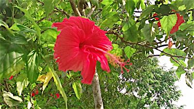 コタキナバルの公園に咲くハイビスカス