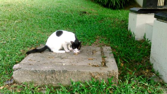 コタキナバルコの猫