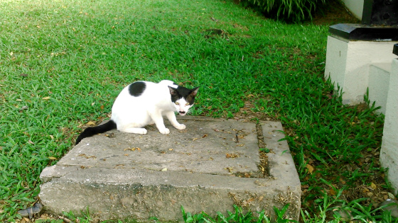 シャングリラタンジュンアルリゾートリゾートに来る猫