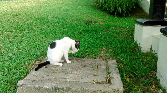 食後に手を綺麗にするコタキナバルの猫