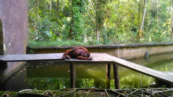ロッカウィ・ワイルドライフパークのオランウータン