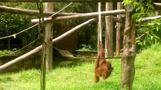 ロープで遊ぶオランウータン