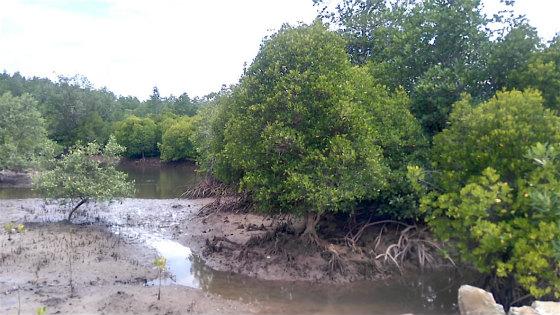 コタキナバルのマングローブ