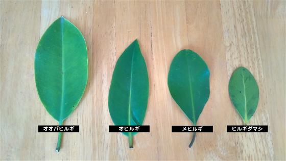 マングローブの葉っぱ