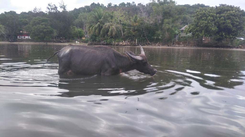 コタキナバルの水牛