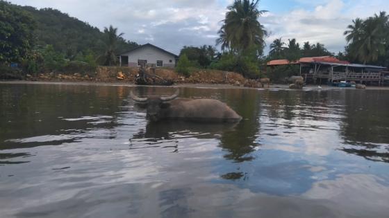 ムンカボン川の水牛