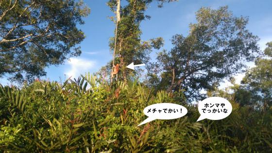 ガラマ川で見た大きなオスのテングザル