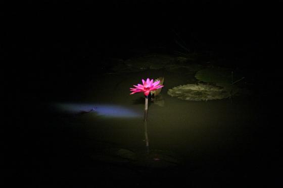 夜に咲き始める睡蓮スイレン