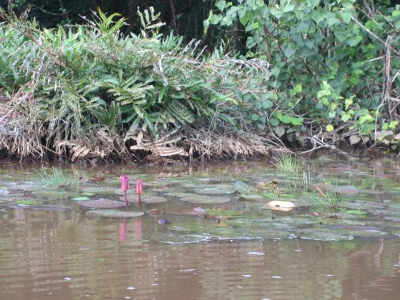 ジャングルクルーズで見られる睡蓮スイレン