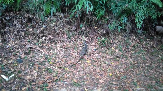 コタキナバルで見かける水トカゲ