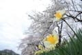 [旅行]檜木内川の桜並木