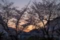 [夕景][桜]