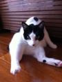 2011/2/6 今日のあんずにゃん #photocat