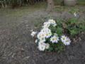 伊藤左千夫居宅跡の敷地内に咲く野菊