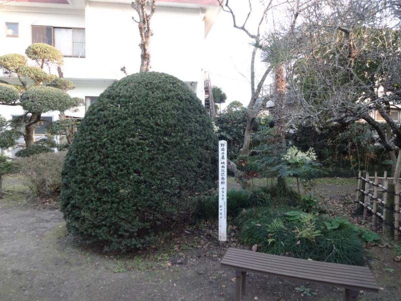 映画「野菊の墓」の記念樹(松田聖子さんの手植え)