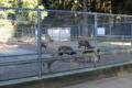 境内にいる鹿島のシカは奈良公園のシカの祖先。流石は武運の神のシカ
