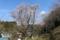 西行法師に「百夜通い」に思いを寄せて植えた墨染桜(千葉県東金市)