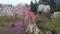 家の近所にある遅咲きの垂れ梅。異色の花をつけていますが接木かな?