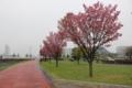 教え子達の帰りを待つ「此岸」で咲く陽光桜(映画「陽光桜」)
