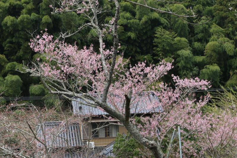 千年に亘り深草少将の儚い想いを小野小町へと運ぶ墨染桜