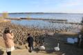 毎年100羽近い白鳥が飛来する白鳥の湖「北浦」(殆ど鴨)