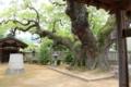 楠木正行の墓の横に立つ大楠木(地元ではこの大楠木は楠木正成とも)