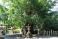 玉鬘の大銀杏(素盞雄神社)