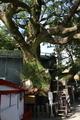 熊野那智大社の御神木「スクノキ」