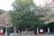 熊野速玉神社の御神木「ナギ」
