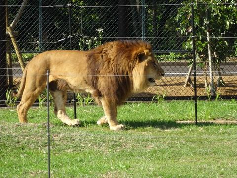 ライオン★千葉市動物公園