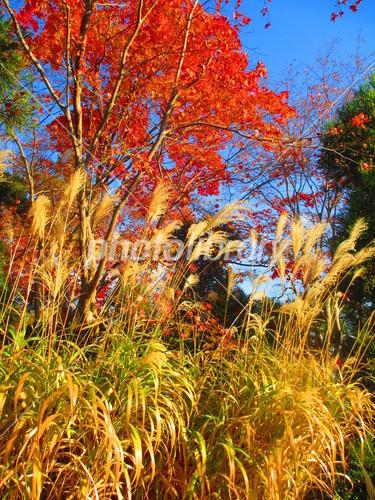 kyoto_koetsuji_susuki.jpg