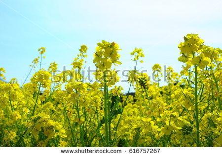 stock-photo-field-mustard-of-tokyo-hamarikyu-garden-616757267.jpg