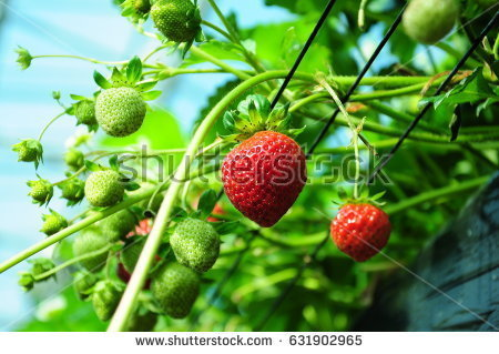 stock-photo-it-is-strawberry-hunting-of-japan-631902965.jpg