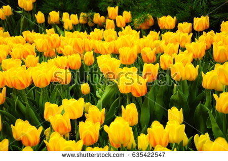 stock-photo-it-is-yellow-tulips-in-america-635422547.jpg
