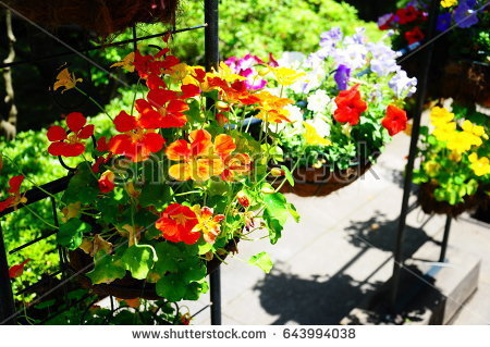 stock-photo-they-are-orange-flowers-in-the-garden-643994038.jpg