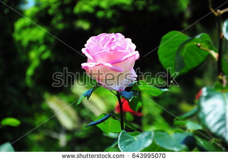 stock-photo-this-is-a-pink-rose-in-the-garden-643995070.jpg