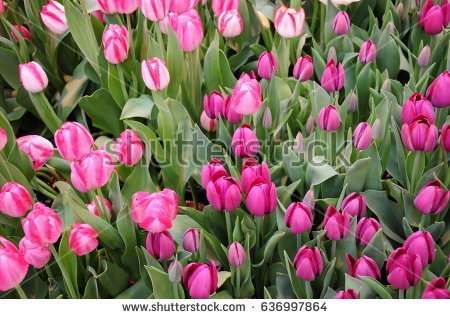 stock-photo-this-is-pink-flowers-in-a-garden-636997864.jpg