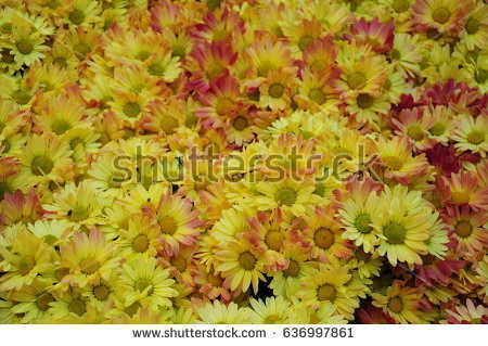 stock-photo-this-is-yellow-flowers-in-a-garden-636997861.jpg