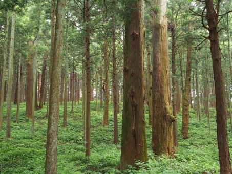 樹木の胸高直径の計測