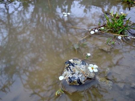 水たまりに落ちたユキヤナギ