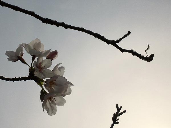 くもり空の桜