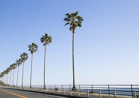 宮崎のヤシの木
