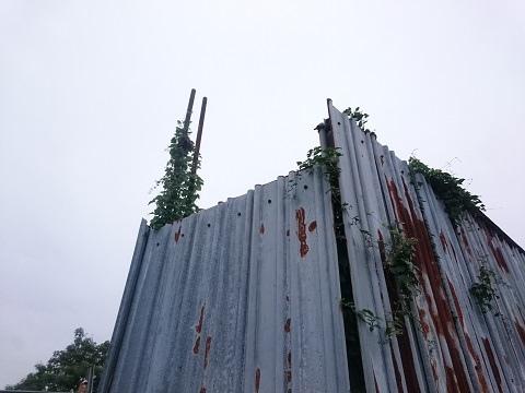 トタンの塀を乗っ取ろうとする植物