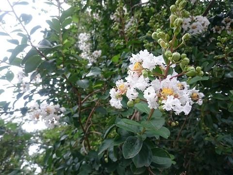 百日紅の白い花