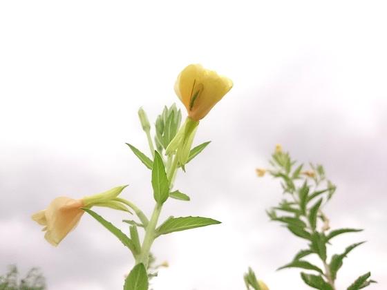 雨上がりの黄色い花