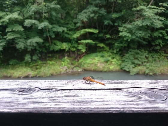 湯西川温泉平家の庄の露天風呂で見たトンボ