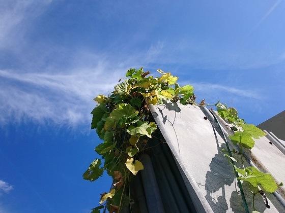 カラスウリと秋の空