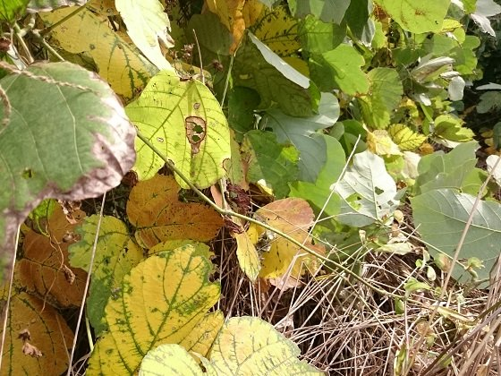 秋色のクズの葉